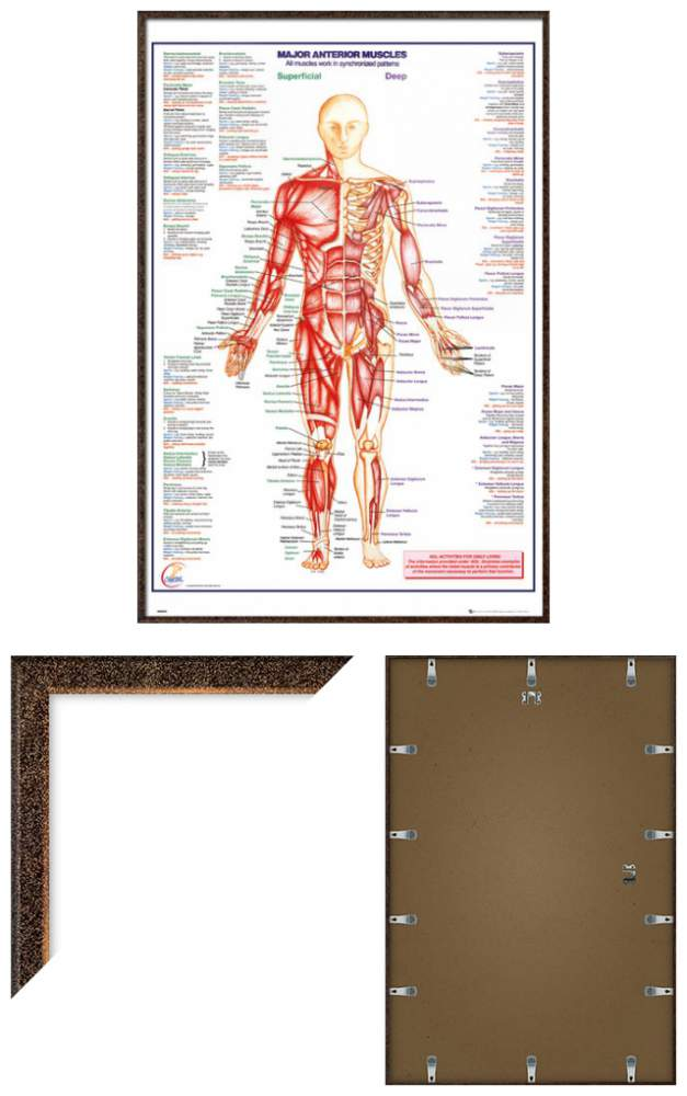 THE HUMAN BODY - FRAMED ANATOMY POSTER / PRINT (MAJOR ANTERIOR ...
